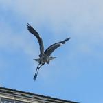 Grey heron 3, Copenhagen Botanical Garden thumbnail