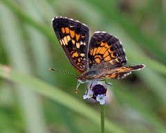 Phaon Crescent (Phyciodes phaon) on Turkey Tangle Fogfruit (Phyla nodiflora)
