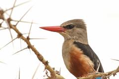 Grey-headed Kingfisher (Janis May) Tags: africanbird greyheadedkingfisher lakemanyara