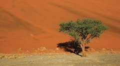 Desert Trees at Sossusvlei (5) (Richard Collier - Wildlife and Travel Photography) Tags: southernafrica namibia tree trees landscape sossusvlei sanddunes