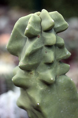 Lophocereus schottii f. monstrose (pazzapped) Tags: lophocereus schottii monstrose monstrosa monstrosity fasciate fasciation mutation cactus columnar