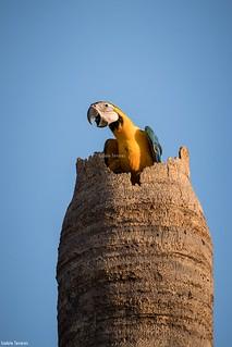 Arara canindé - ninho