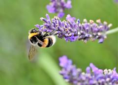 Hard at work. (pstone646) Tags: bee insect animal nature wildlife fauna flora ashford kent garden green purple flower lavender closeup bokeh ngc