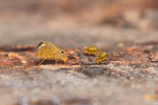 Dicyrtomina and Sminthurinus