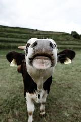 (simonherr124) Tags: animal animals cow kuh tier tiere nature natur happy beautiful glücklich happiness glück schönheit schön ourdoor outdoors travel fujifilm fuji xf1614
