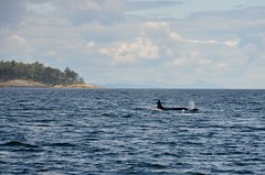 Orcas (Andrew Acey) Tags: orca whale vancouver island georgia straight pod nature wild adventure travel canada british columbia animals ocean nikon d5100