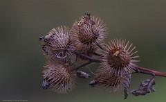 Burdock......... (favmark1) Tags: autumn kent burdock seed seedhead bur