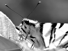 Monocrome (lucamarasca1) Tags: composizione prospettiva perspective composition farfalla nikond5500 natura natgeo focus closeup macro 18200mm nikkor nikon background macrounlimited macrodreams mothernature eye dettaglio dettagli details detail monocromatico monocrome blackwhite blackandwhite biancoenero bianconero bnw insect nature butterfly