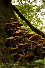 _MG_7777 (Cintia Billmaier.) Tags: setas hongos liquenes ucieda naturaleza verde color pilze mushroom arboles baum bäumen natur nature cantabria kantabrien paisaje reservanatural cantabriainfinita