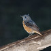 Rufous-tailed Rock-Thrush (Monticola saxatilis) winter male