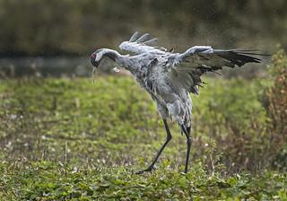 Crane (Wild) - Drying off