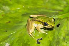 Hylarana 2 (Giovanni-Bianco) Tags: sony a6000 closeup macro 18200 natura nature rane verde rospi animalianimals insetti foglie