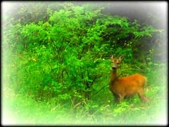 Timido.....nell'ombra... (loriscresti) Tags: capriolo verde cespuglio green