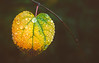 Autumn ahead (Dhina A) Tags: sony a7rii ilce7rm2 a7r2 lensbaby velvet 56 56mm f16 macro lensbabyvelvet5656mmf16 bokeh portrait art lens 4elements 3groups leaves leaf water drops raindrops rain autumn colors fall