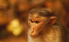 Curious (Rajavelu1) Tags: monkey colours outdoorphotography canonef70200f4llens canon6d artwork creative thisphotorocks artdigital mbpictures