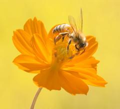 bee, cosmos, rice (mishko2007) Tags: bee korea 105mmf28
