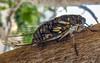 Cicada/Cigarra (VVMesquita) Tags: cicada cigarra insect nature wetseason wet mating strident noise brazil cerrado forest brasil closeup lumia lumia1020 1020 nokia1020 nokia