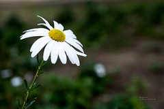 294/365 (Daegeon Shin) Tags: nikon d750 nikkor 55mmf28 365 flower flor dof chrysanthemumzawadskii 구절초 니콘 니콘렌즈 꽃 야생화 wildflower florsilvestre mosquito 모기