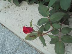 235 (en-ri) Tags: rosellina little rose blossom bocciolo sony sonysti verde foglie leaves rosso