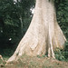 Buttress roots of Ceiba pentandra. Dave Curtis. Ibadan South Nigeria. Cottonwod, silk cotton or kapok