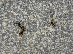 Drei Wespen (Veit Schagow) Tags: vasp wespe insekt herbst sterben tod dead season