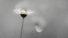 silver daisy (christophe.laigle) Tags: argent silver christophelaigle fleur macro pâquerette drops nature flower fuji pluie daisy gouttes xpro2 xf60mm softness ngc