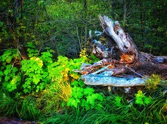 Roots of Life (lindayaecker) Tags: vignettes forest luxuriousgreenery plants tree beauty magnificent old decaying