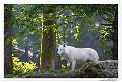 Connu comme le loup blanc ! (C. OTTIE et J-Y KERMORVANT) Tags: nature animaux mammifères loups loupblanc parcanimalier france louparctique canislupusarctos