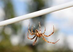 Abseiling Spider! (suekelly52) Tags: spider abseiling web arachnid washingline beautifulbugbuttthursday arachtober