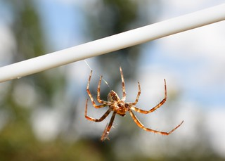 Abseiling Spider!