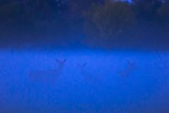 Red deer hinds in the mist (adambotond) Tags: reddeer deer deers hind mist misty dusk csokonyavisonta xantusliget xantus cervuselaphus nature naturephotography wildlife wild wildlifephotography outdoor animal ruminant wilderness wildanimal autumn fog sillouette canon canoneos1dx canonef400f4doisiiusm forest field grass hungary adambotond europe