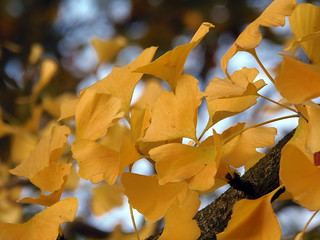 Ginkgo leaves in autumn light