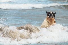 galli cadzand17 (cdandrifosse) Tags: galli saint bernard mer cadzand chien
