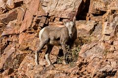 Bighorn Sheep lamb shows its climbing prowess