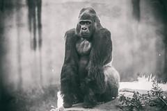 Oscar Jonesy (Thomas Hawk) Tags: america california oscarjonesy sanfrancisco sanfranciscozoo usa unitedstates unitedstatesofamerica gorilla monkey zoo fav10 fav25 fav50 fav100