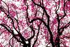 Graphic Sakura (DanÅke Carlsson) Tags: japan japanese sakura cherry blossom pink color tree graphic