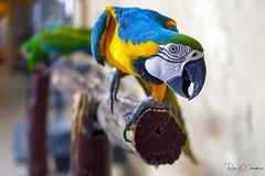 Snapshot from Doha Series ... (Bijanfotografy) Tags: nikon nikond500 nikondx dx zeiss zeisszfdistagon35mm20 qatar wakrahqatar wakrah souq bird macaw market bazzar
