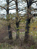 Triplets (elkarrde) Tags: nature landscape morning trees grass countryside forest sky autumn october 2017 pentax k20d pentaxk20d camera:brand=pentax lens:brand=pentax camera:mount=kaf3 camera:format=apsc camera:model=k20d lens:mount=kaf2 lens:maxaperture=3556 lens:focallength=1855mm lens:format=apsc lens:model=smcpentaxda135561855mmal da1855 1855 pentaxda1855 smcpentaxda1855mmf3556 smcpentaxda135561855mmal croatia location:country=croatia desinec bush leaves autumn2017 october2017 twop pentaxart justpentax sunday sundaymorning digital mediumdigital