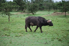 DSC_0082 (graceesimp) Tags: maasaimara capebuffalo buffalo