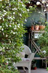 brunfelsia (Crazy House Capers) Tags: brunfelsia yesterdaytodayandtomorrow vintage wicker furniture vintagewickerfurniture garden springgarden