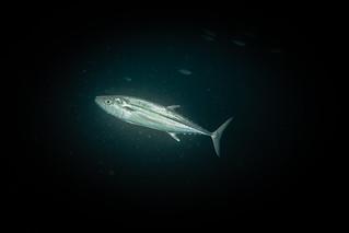 Skipjack Tuna. Tonnetto striato. (Katsuwonus Pelamis).