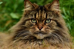 champion maine coon mouser  🏆 (Honey Buster) Tags: mainecoon coth coth5 flickrdiamond gato nikonflickraward simplysuperb bestcapturesaoi thebestshot gatto