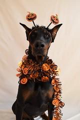 DSC_0032 (justinluv) Tags: achilles dog canine dobe dobie doberman dobermanpinscher eurodoberman halloween