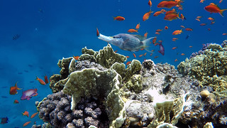 Red Sea, Coral Reef, Lyretail Anthias and Slingjaw Wrasse in action...