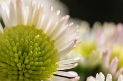 Vers la lumière -  To the light - (oudjat45) Tags: verslalumièretothelight fleur blumen flower blanc withe weis vert green grün bokeh macro closeup lumière light licht