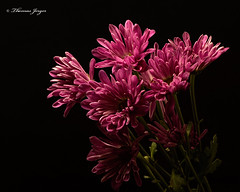Greed 1026 Copyrighted (Tjerger) Tags: nature beautiful beauty black blackbackground bloom blooming blooms bunch closeup cluster fall flora floral flower flowers greed green group macro mum pink plant portrait white wisconsin mums natural