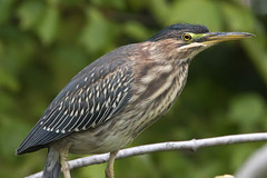 Green Heron Perching-33 (Scott Alan McClurg) Tags: animalia ardeidae aves bvirescens butorides chordata neognathae neornithes pelecaniformes animal autumn bird delaware fall life march nature naturephotography outdoors perching photography portrait wetlands wild wildlife
