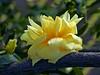 Catalonia - Love and Peace (maginoz1) Tags: catalonia flower power lovepeace abstract art manipulate bullarosegarden spring october 2017 bulla melbourne victoria australia canon g16