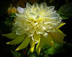 Wünsche allen Freunden, Kontakten und Besucher ein schönes Wochenende! -  Wish all friends, contacts and visitors a nice weekend! (fleckchen) Tags: dahlie dahlien dahlia blumen blüten blooms blumenblüten flowers flower flora garten sommer