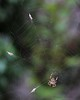 some snacks for later... (ggcphoto) Tags: spider falsewidow snacking food web trap nature closeup potdoor